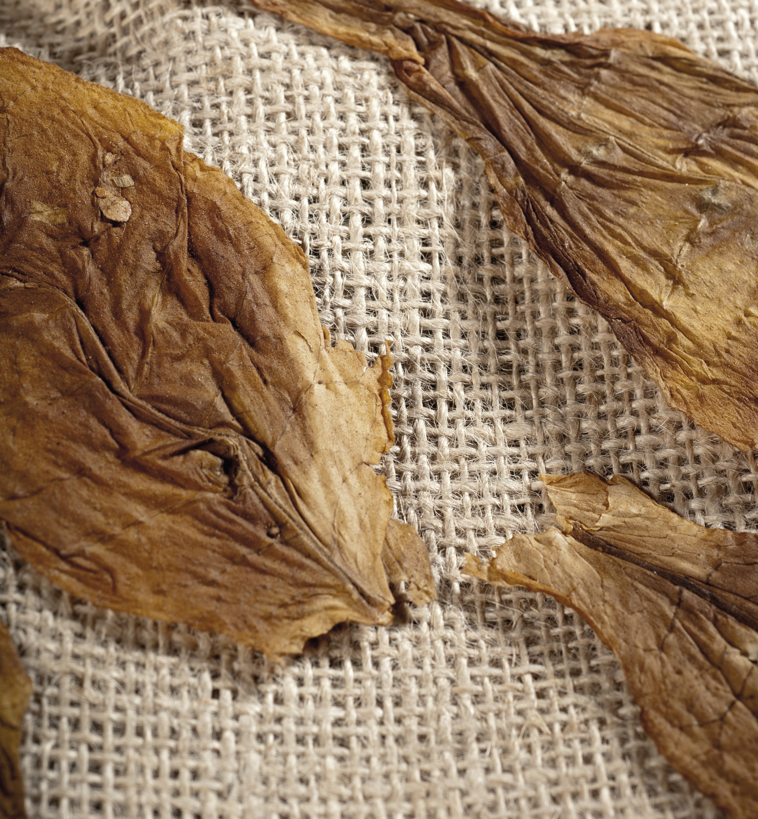 dried tobacco plants ready for processing