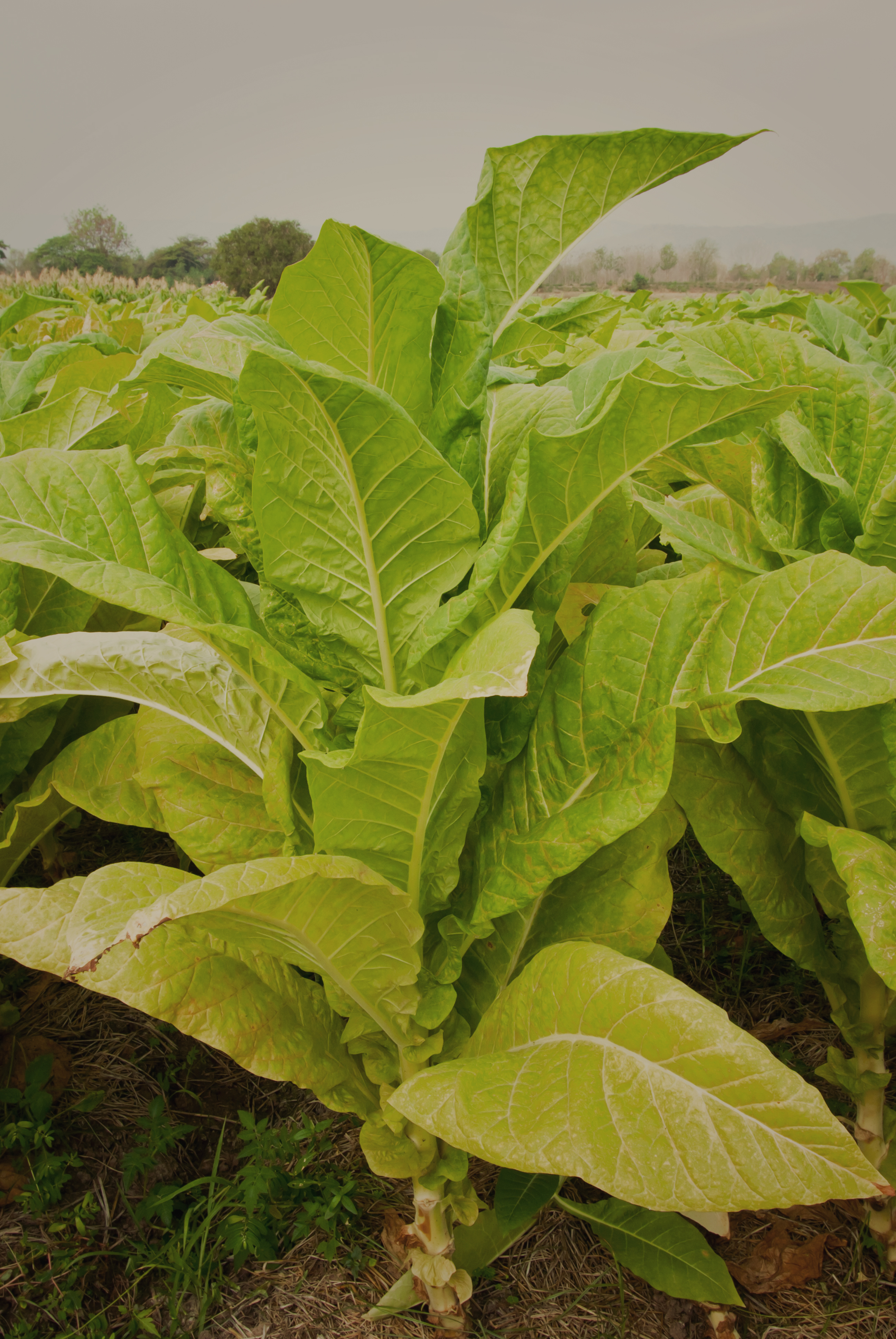 Tobacco and agriculture